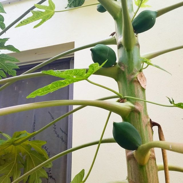 Checking out these papayas growing right outside the window inhellip